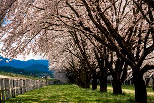 水沢競馬場の桜並木の写真素材 [FYI02827112]