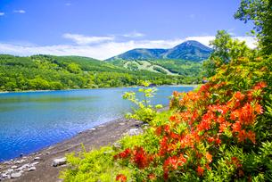 レンゲツツジ咲く女神湖湖畔と蓼科山の写真素材 [FYI02827194]