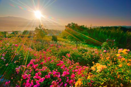 バラと朝日の光芒の写真素材 [FYI02827308]