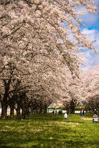 水沢競馬場の桜並木の写真素材 [FYI02827376]