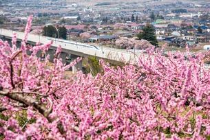 桃の花とリニアモーターカーの写真素材 [FYI02827411]