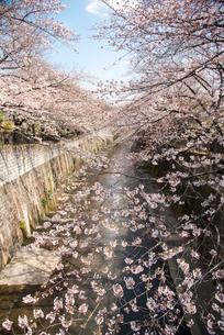 加賀橋より石神井川とサクラ並木の写真素材 [FYI02827555]