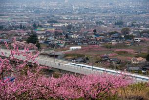 桃の花とリニアモーターカーの写真素材 [FYI02827567]