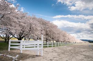 水沢競馬場の桜並木の写真素材 [FYI02827622]