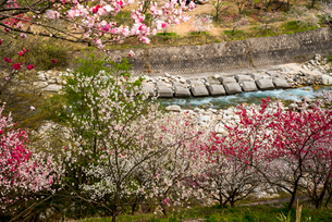 花桃の里と本谷川の写真素材 [FYI02827628]