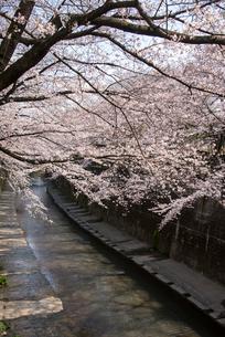 加賀橋より石神井川とサクラ並木の写真素材 [FYI02827662]