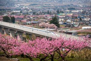桃の花とリニアモーターカーの写真素材 [FYI02827744]