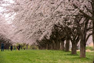水沢競馬場の桜並木の写真素材 [FYI02827775]