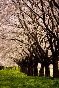水沢競馬場の桜並木の写真素材 [FYI02827785]