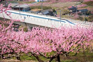 桃の花とリニアモーターカーの写真素材 [FYI02827876]