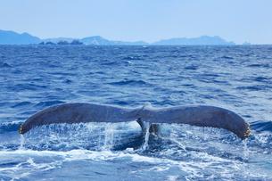 ザトウクジラのプルークアップダイブと渡嘉敷島の阿波連岬の写真素材 [FYI02828179]