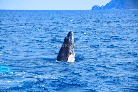 ザトウクジラのスパイホップの写真素材 [FYI02828253]