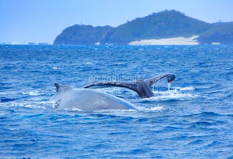 ザトウクジラのペアのプルークアップダイブと嘉比島の写真素材 [FYI02828291]