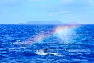 ザトウクジラのレインボーブロウと渡名喜島の写真素材 [FYI02828295]