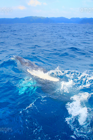 近寄るザトウクジラと渡嘉敷島の写真素材 [FYI02828302]