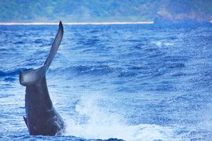 ザトウクジラのテールスラップの写真素材 [FYI02828330]