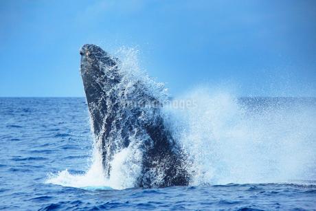 ザトウクジラのブリーチの写真素材 [FYI02828336]