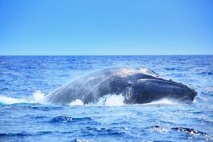 ザトウクジラのブリーチの写真素材 [FYI02828380]