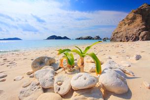 阿波連ビーチとヤシの幼樹の写真素材 [FYI02828400]