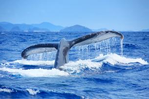 ザトウクジラのプルークアップダイブと嘉比島など慶良間諸島の写真素材 [FYI02828406]