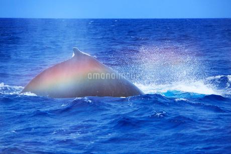 ザトウクジラのレインボーブロウの写真素材 [FYI02828409]