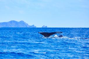 ザトウクジラの親子のプルークアップダイブと阿波連岬の写真素材 [FYI02828428]