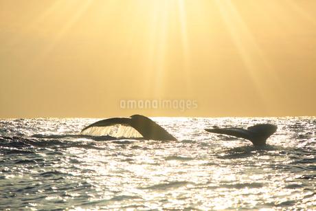 ザトウクジラのペアのプルークアップダイブと夕日の光芒の写真素材 [FYI02828453]