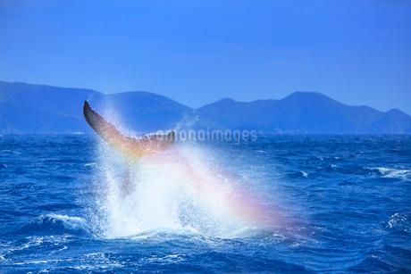 ザトウクジラのテールスラップと虹の写真素材 [FYI02828483]