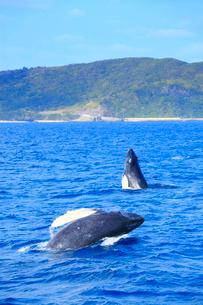 ザトウクジラのペアのブリーチとスパイホップの写真素材 [FYI02828485]
