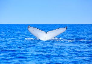 ザトウクジラのプルークアップダイブの写真素材 [FYI02828493]