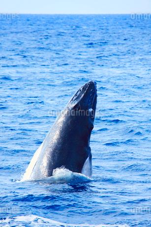 ザトウクジラのスパイホップの写真素材 [FYI02828519]