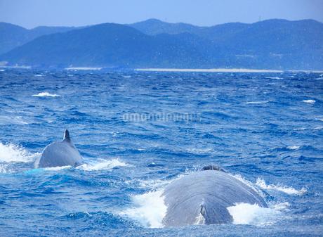 ザトウクジラのペアと渡嘉敷島の写真素材 [FYI02828524]