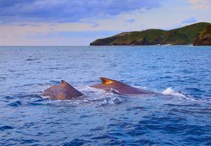 夕日に染まるザトウクジラの親子の写真素材 [FYI02828570]