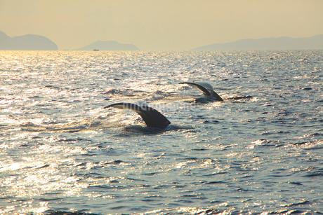 朝のザトウクジラのペアのプルークアップダイブの写真素材 [FYI02828619]