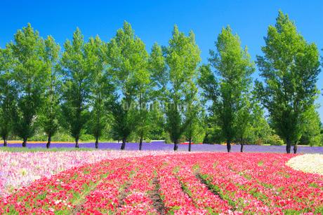 カリフォルニアポピーの花畑とポプラ並木の写真素材 [FYI02828642]