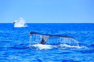 ザトウクジラのプルークアップダイブとテールスラップの写真素材 [FYI02828682]