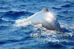 ザトウクジラの輝く背の写真素材 [FYI02828689]