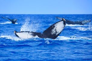 ザトウクジラのメイティングポッドのプルークアップダイブの写真素材 [FYI02828715]