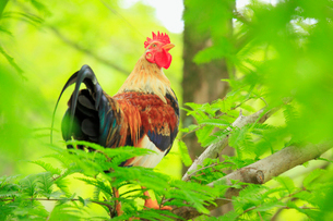 木の上のニワトリの雄鶏の写真素材 [FYI02828741]