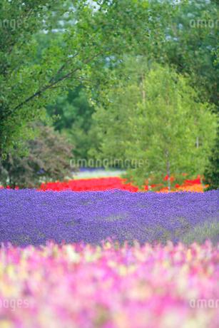 ラベンダーの花畑の写真素材 [FYI02828747]
