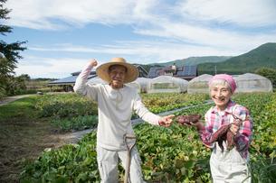 畑でサツマイモを収穫するシニア夫婦の写真素材 [FYI02828841]