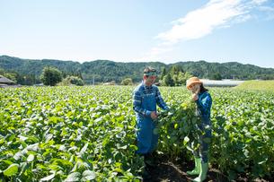 畑で枝豆を収穫する中高年夫婦の写真素材 [FYI02828925]