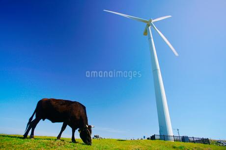 風力発電の風車と黒毛和牛の写真素材 [FYI02828946]