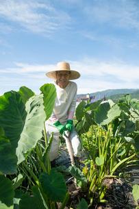 畑で里芋を収穫するシニア男性の写真素材 [FYI02828997]