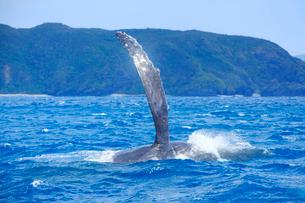 輝くザトウクジラのペックスラップと安室島の写真素材 [FYI02829076]