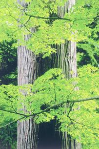 杉とモミジの写真素材 [FYI02829132]
