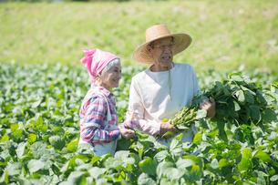 畑で枝豆を収穫するシニア夫婦の写真素材 [FYI02829571]