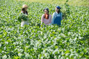 畑で枝豆を収穫する女性三人の写真素材 [FYI02829670]