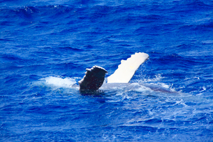 ザトウクジラの背泳ぎの写真素材 [FYI02829718]