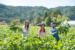 畑で枝豆を収穫する女性三人の写真素材 [FYI02829731]